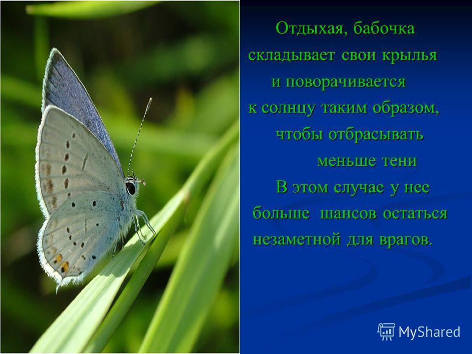 Отдыхая, бабочка Отдыхая, бабочка складывает свои крылья складывает свои крылья и поворачивается и поворачивается к солнцу таким образом, к солнцу таким образом, чтобы отбрасывать чтобы отбрасывать меньше тени меньше тени В этом случае у нее В этом с