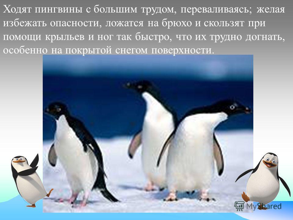 Ходят пингвины с большим трудом, переваливаясь; желая избежать опасности, ложатся на брюхо и скользят при помощи крыльев и ног так быстро, что их трудно догнать, особенно на покрытой снегом поверхности.