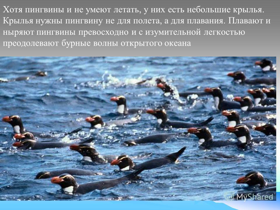 Хотя пингвины и не умеют летать, у них есть небольшие крылья. Крылья нужны пингвину не для полета, а для плавания. Плавают и ныряют пингвины превосходно и с изумительной легкостью преодолевают бурные волны открытого океана
