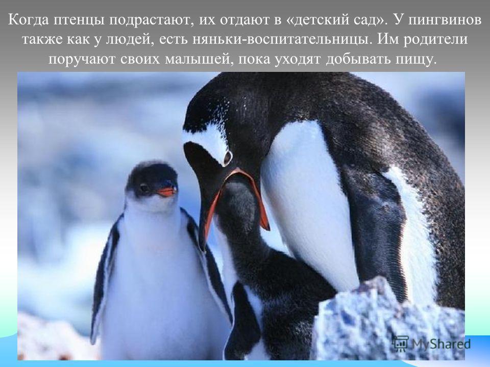 Когда птенцы подрастают, их отдают в «детский сад». У пингвинов также как у людей, есть няньки-воспитательницы. Им родители поручают своих малышей, пока уходят добывать пищу.