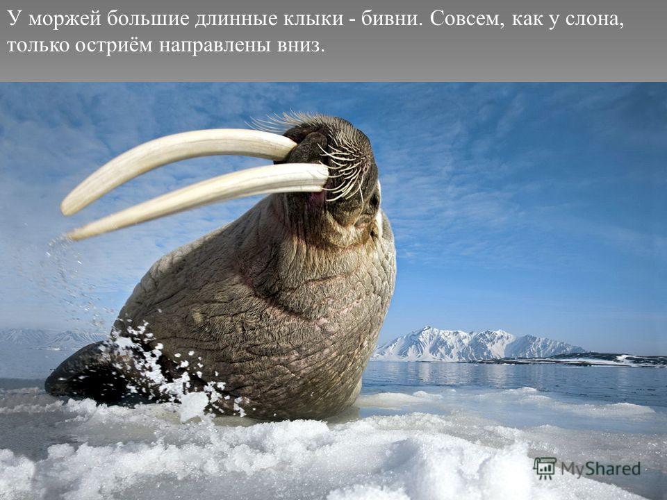 У моржей большие длинные клыки - бивни. Совсем, как у слона, только остриём направлены вниз.