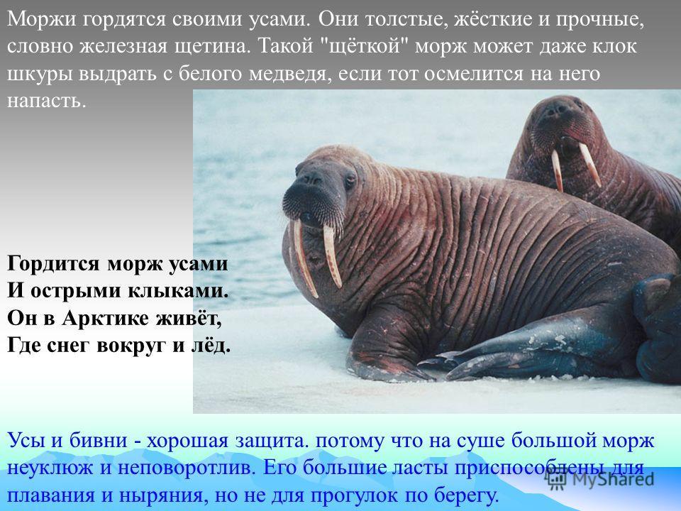 Усы и бивни - хорошая защита. потому что на суше большой морж неуклюж и неповоротлив. Его большие ласты приспособлены для плавания и ныряния, но не для прогулок по берегу. Моржи гордятся своими усами. Они толстые, жёсткие и прочные, словно железная щ