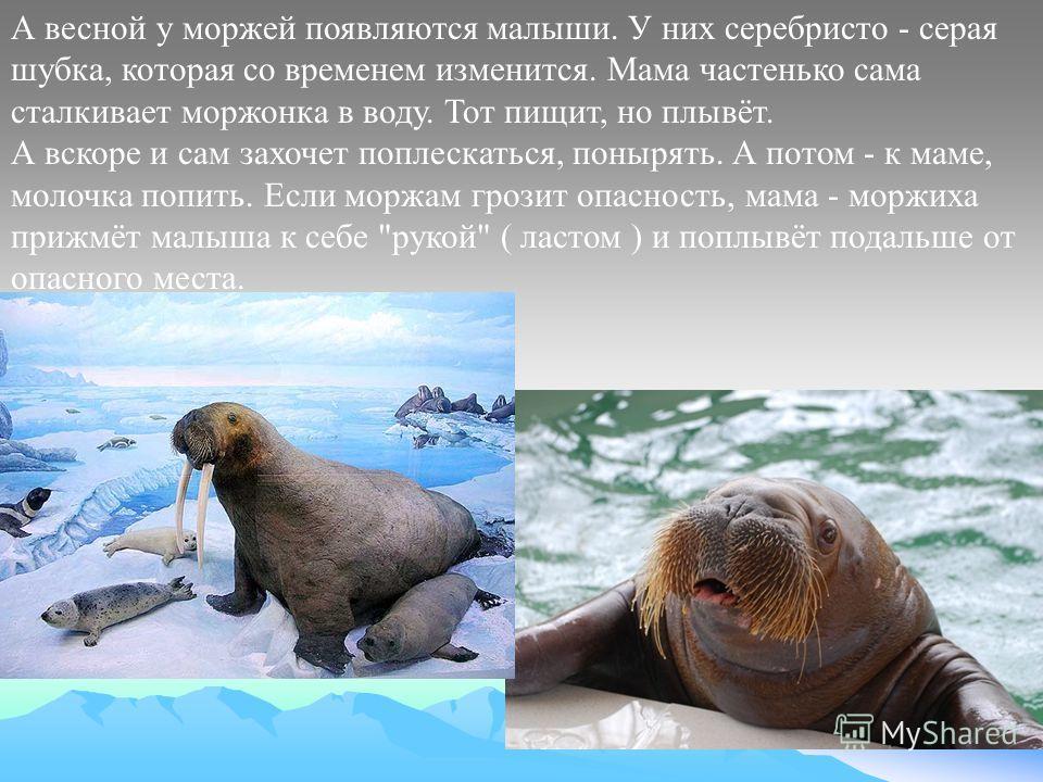 А весной у моржей появляются малыши. У них серебристо - серая шубка, которая со временем изменится. Мама частенько сама сталкивает моржонка в воду. Тот пищит, но плывёт. А вскоре и сам захочет поплескаться, понырять. А потом - к маме, молочка попить.