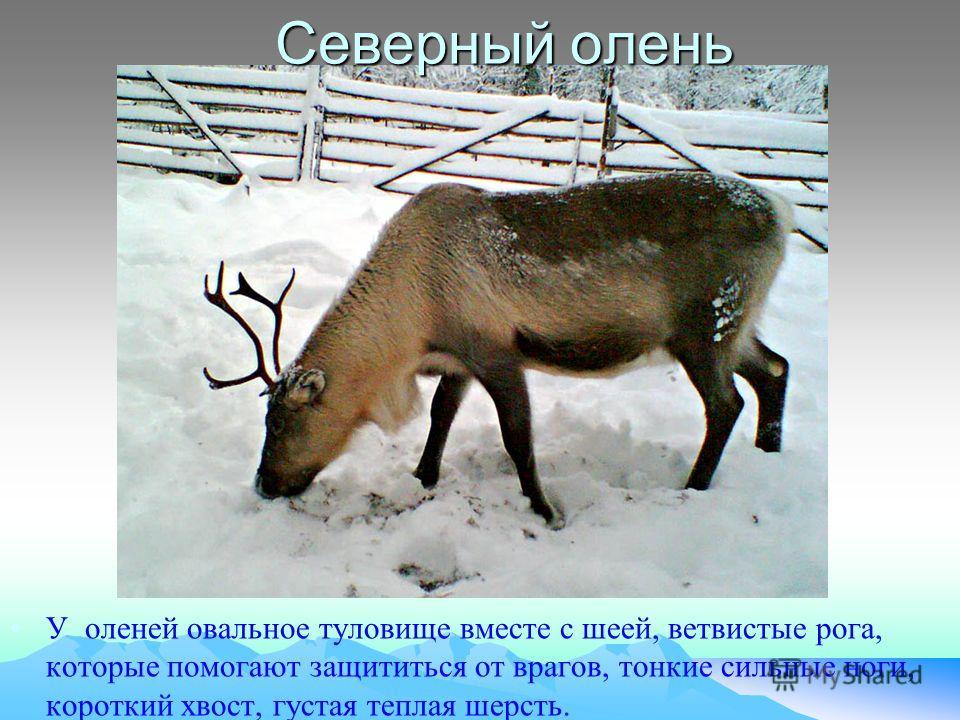 У оленей овальное туловище вместе с шеей, ветвистые рога, которые помогают защититься от врагов, тонкие сильные ноги, короткий хвост, густая теплая шерсть. Северный олень