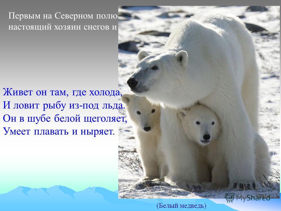 Первым на Северном полюсе нам повстречался настоящий хозяин снегов и льдов (Белый медведь) Живет он там, где холода, И ловит рыбу из-под льда. Он в шубе белой щеголяет, Умеет плавать и ныряет.