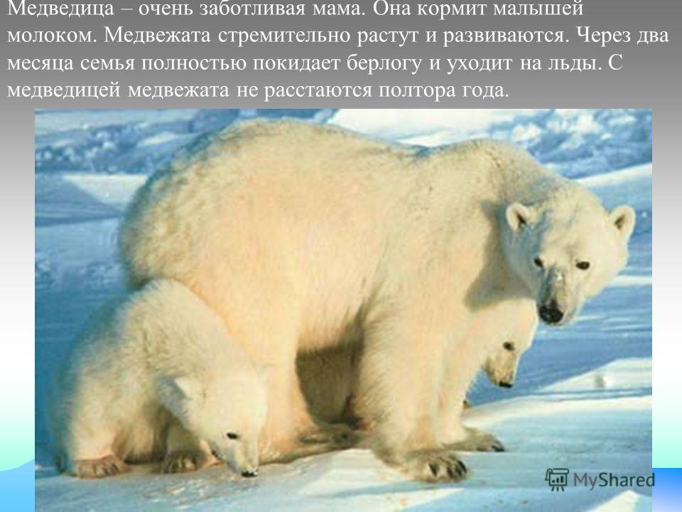 Медведица – очень заботливая мама. Она кормит малышей молоком. Медвежата стремительно растут и развиваются. Через два месяца семья полностью покидает берлогу и уходит на льды. С медведицей медвежата не расстаются полтора года.