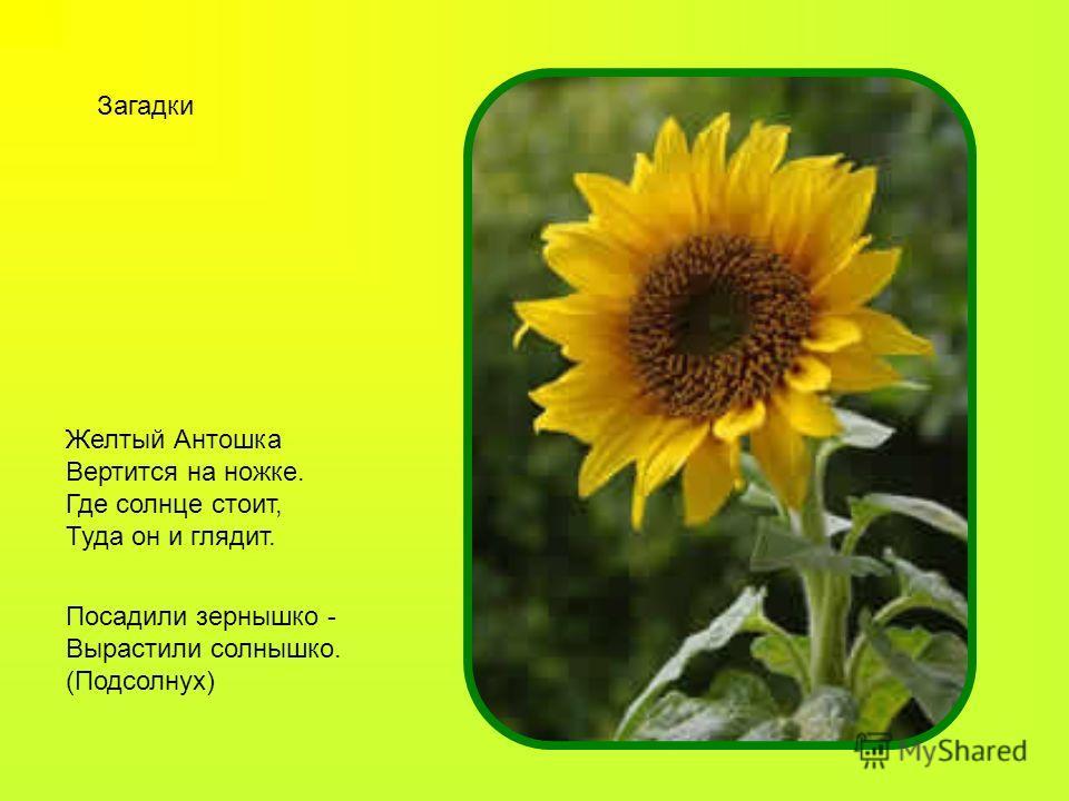 Посадили зернышко - Вырастили солнышко. (Подсолнух) Желтый Антошка Вертится на ножке. Где солнце стоит, Туда он и глядит. Загадки