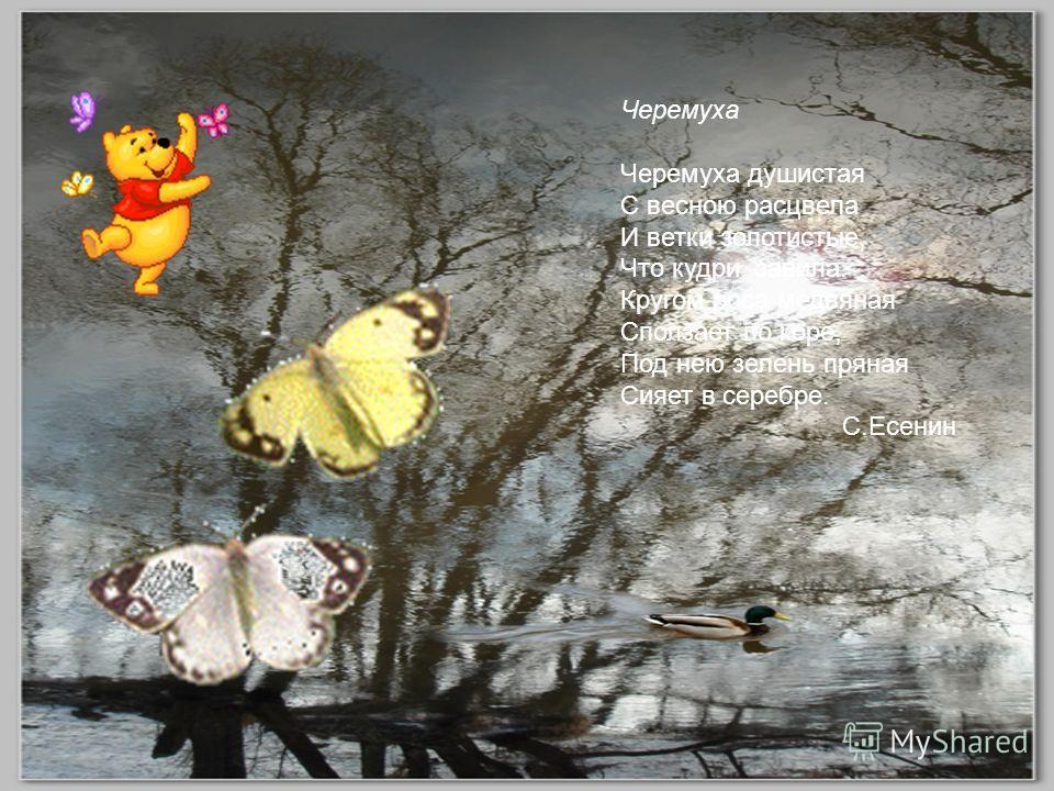 Черемуха Черемуха душистая С весною расцвела И ветки золотистые, Что кудри, завила. Кругом роса медвяная Сползает по коре, Под нею зелень пряная Сияет в серебре. С.Есенин