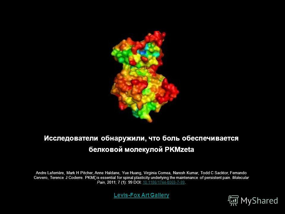 Levis-Fox Art Gallery Исследователи обнаружили, что боль обеспечивается белковой молекулой PKMzeta Andre Laferrière, Mark H Pitcher, Anne Haldane, Yue Huang, Virginia Cornea, Naresh Kumar, Todd C Sacktor, Fernando Cervero, Terence J Coderre. PKMζ is