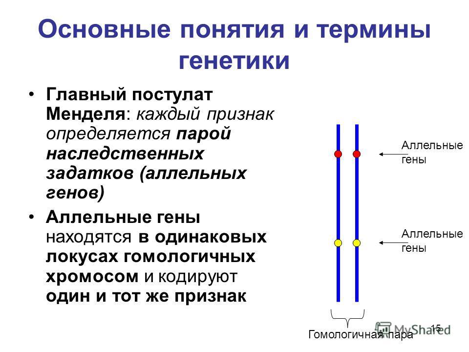 15 Основные понятия и термины генетики Главный постулат Менделя: каждый признак определяется парой наследственных задатков (аллельных генов) Аллельные гены находятся в одинаковых локусах гомологичных хромосом и кодируют один и тот же признак Гомологи