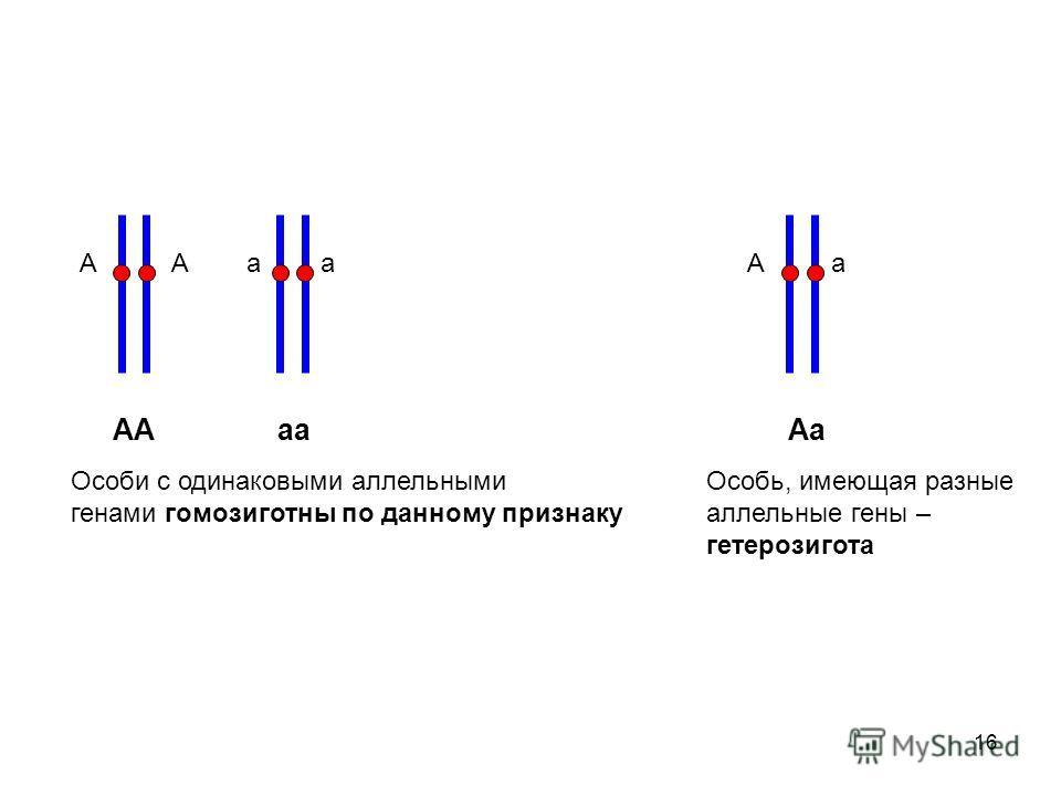 16 А а АА аа Аа Особи с одинаковыми аллельными генами гомозиготны по данному признаку А а Особь, имеющая разные аллельные гены – гетерозигота