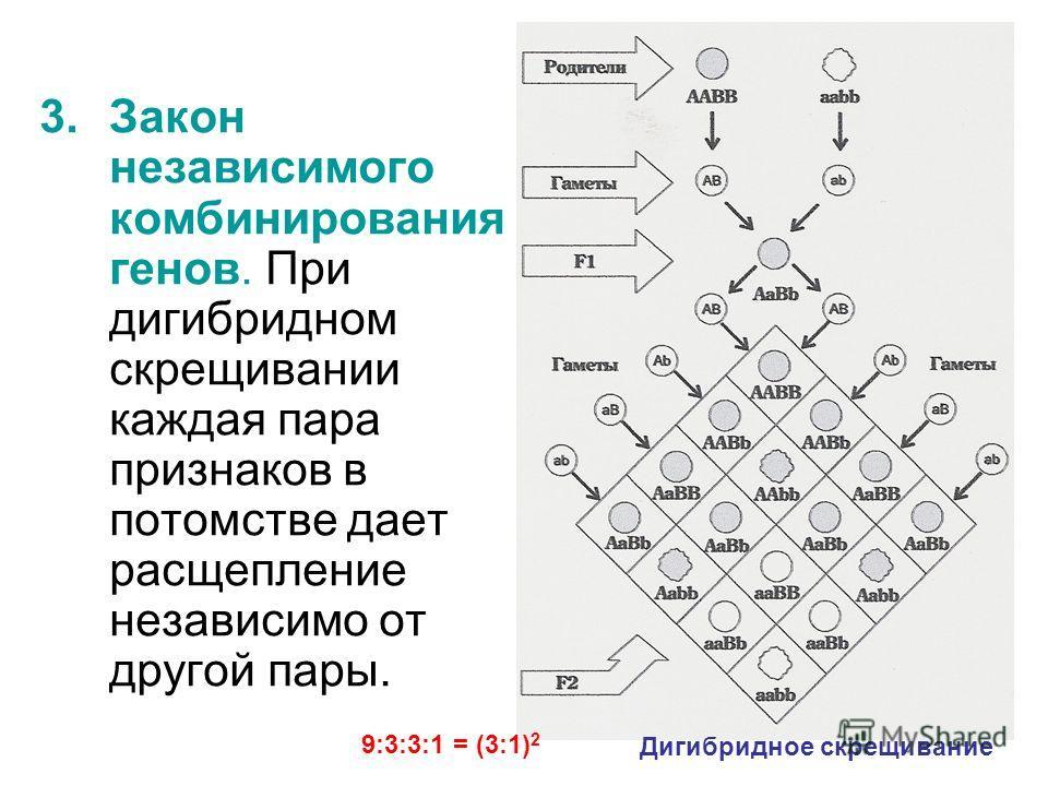 20 3.Закон независимого комбинирования генов. При дигибридном скрещивании каждая пара признаков в потомстве дает расщепление независимо от другой пары. Дигибридное скрещивание 9:3:3:1 = (3:1) 2