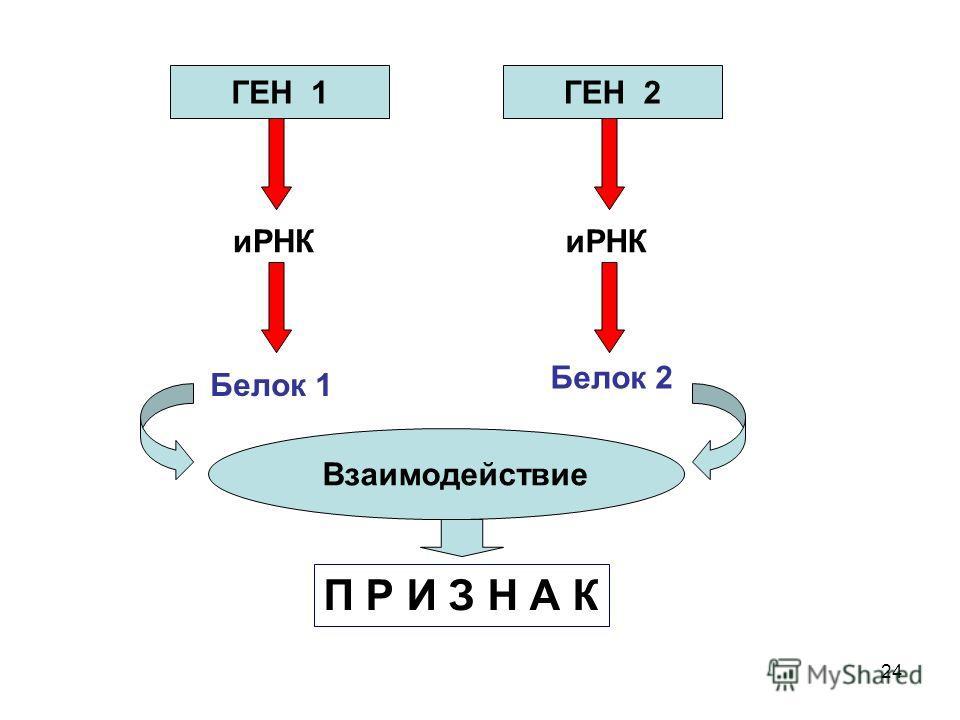 24 ГЕН 1ГЕН 2 иРНК Белок 1 Белок 2 Взаимодействие П Р И З Н А К