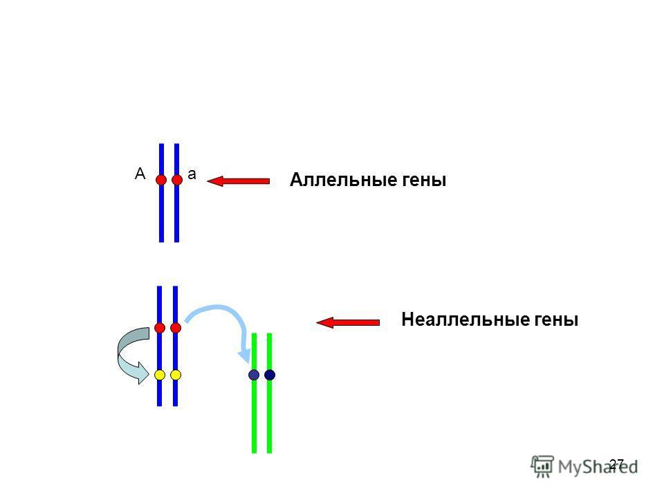 27 А а Аллельные гены Неаллельные гены