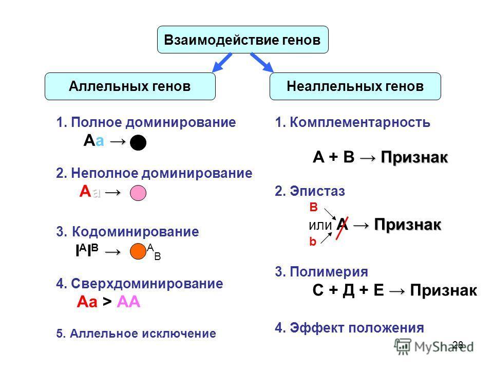 28 Взаимодействие генов Аллельных геновНеаллельных генов Признак 1. Комплементарность А + В Признак 2. Эпистаз В Признак или А Признак b 3. Полимерия С + Д + Е Признак 4. Эффект положения