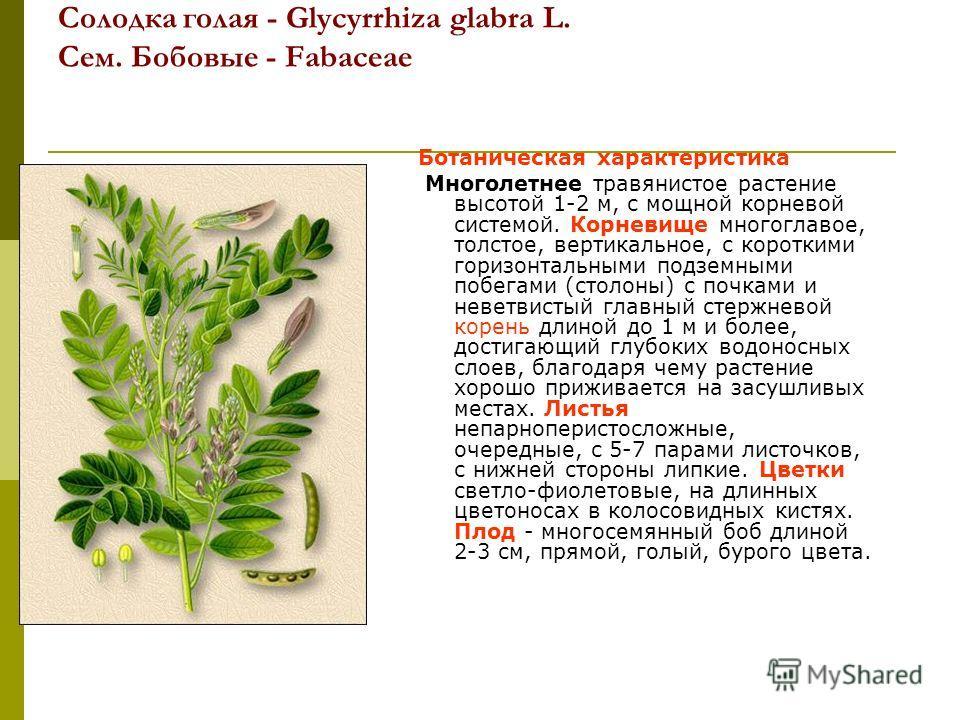 Солодка голая - Glycyrrhiza glabra L. Сем. Бобовые - Fabaceae Ботаническая характеристика Многолетнее травянистое растение высотой 1-2 м, с мощной корневой системой. Корневище многоглавое, толстое, вертикальное, с короткими горизонтальными подземными