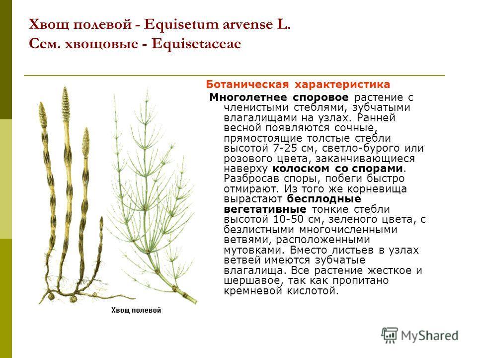 Хвощ полевой - Equisetum arvense L. Сем. хвощовые - Equisetaceae Ботаническая характеристика Многолетнее споровое растение с членистыми стеблями, зубчатыми влагалищами на узлах. Ранней весной появляются сочные, прямостоящие толстые стебли высотой 7-2