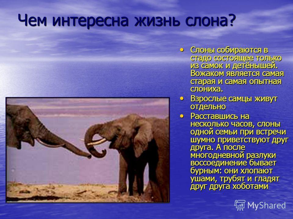 Чем интересна жизнь слона? Слоны собираются в стадо состоящее только из самок и детёнышей. Вожаком является самая старая и самая опытная слониха. Слоны собираются в стадо состоящее только из самок и детёнышей. Вожаком является самая старая и самая оп