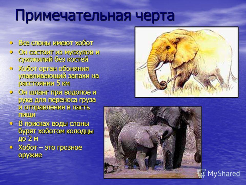 Примечательная черта Все слоны имеют хобот Все слоны имеют хобот Он состоит из мускулов и сухожилий без костей Он состоит из мускулов и сухожилий без костей Хобот орган обоняния улавливающий запахи на расстоянии 5 км Хобот орган обоняния улавливающий