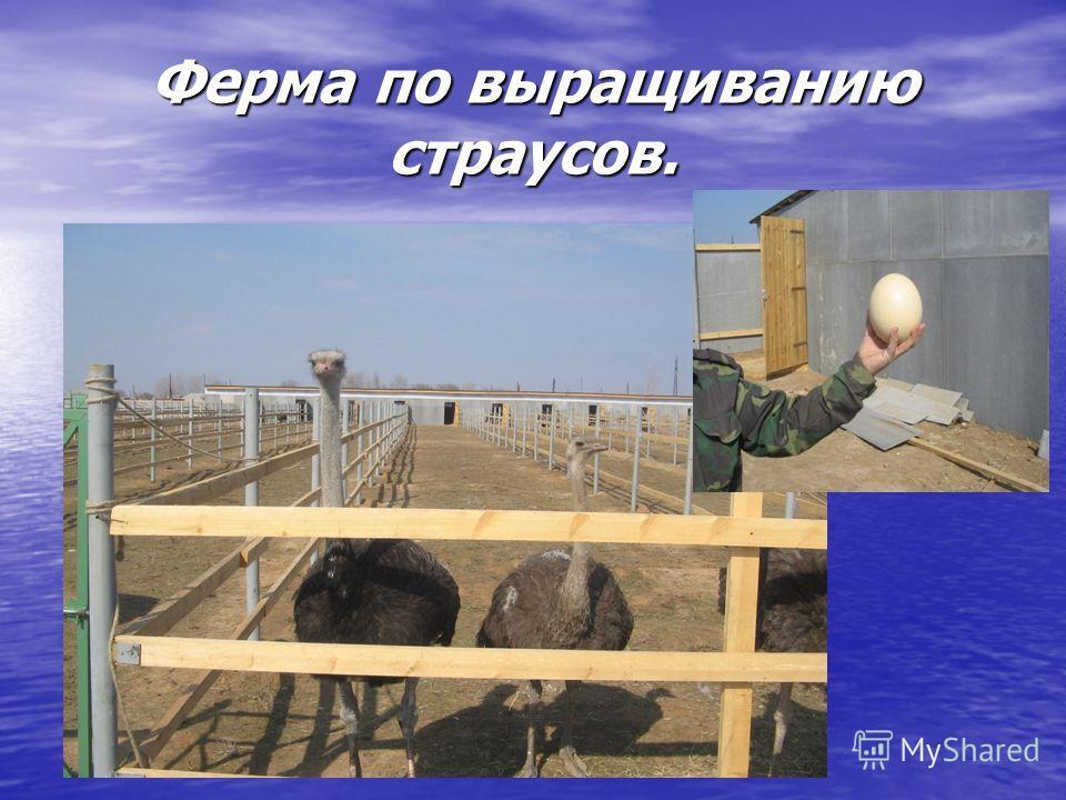 Ферма по выращиванию страусов.