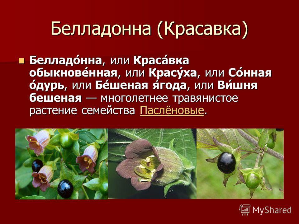 Белладонна (Красавка) Белладо́нна, или Краса́вка обыкнове́нная, или Красу́ха, или Со́нная о́дурь, или Бе́шеная я́года, или Ви́шня бешеная многолетнее травянистое растение семейства Паслёновые. Белладо́нна, или Краса́вка обыкнове́нная, или Красу́ха, и