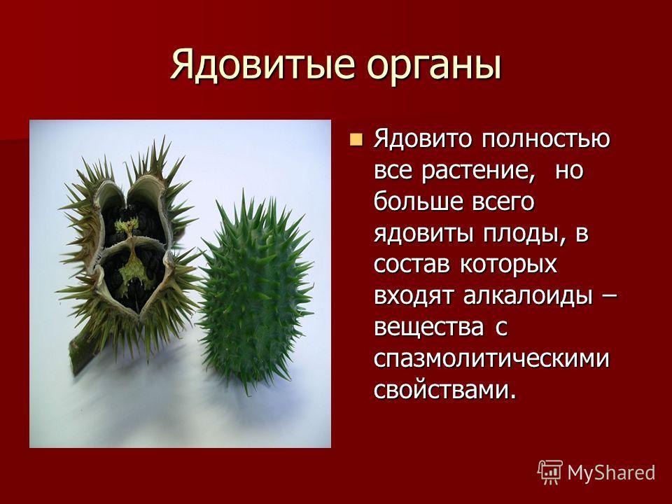 Ядовитые органы Ядовито полностью все растение, но больше всего ядовиты плоды, в состав которых входят алкалоиды – вещества с спазмолитическими свойствами. Ядовито полностью все растение, но больше всего ядовиты плоды, в состав которых входят алкалои