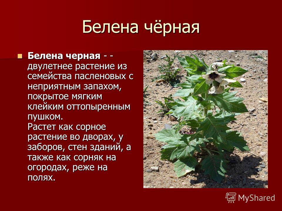 Белена чёрная Белена черная - - двулетнее растение из семейства пасленовых с неприятным запахом, покрытое мягким клейким оттопыренным пушком. Растет как сорное растение во дворах, у заборов, стен зданий, а также как сорняк на огородах, реже на полях.
