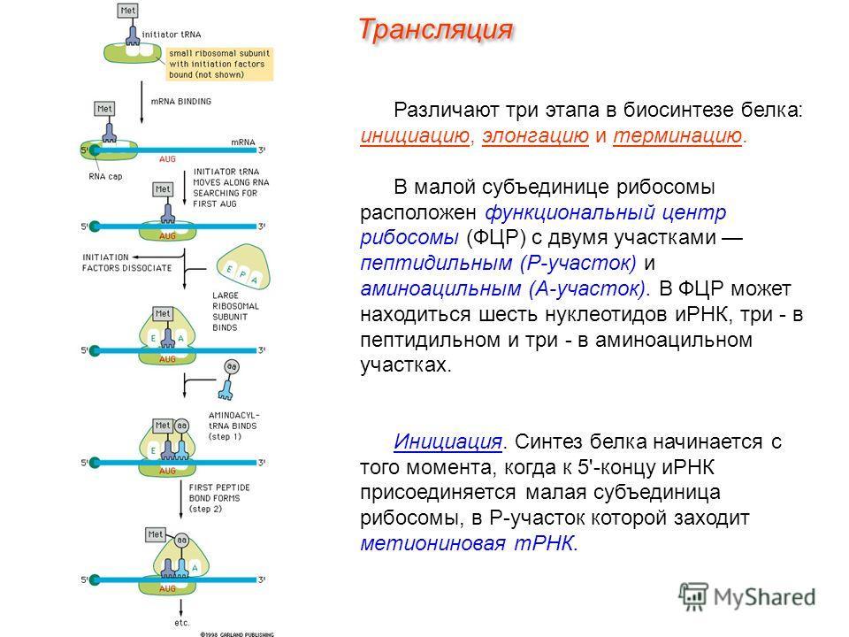 Различают три этапа в биосинтезе белка: инициацию, элонгацию и терминацию. В малой субъединице рибосомы расположен функциональный центр рибосомы (ФЦР) с двумя участками пептидильным (Р-участок) и аминоацильным (А-участок). В ФЦР может находиться шест