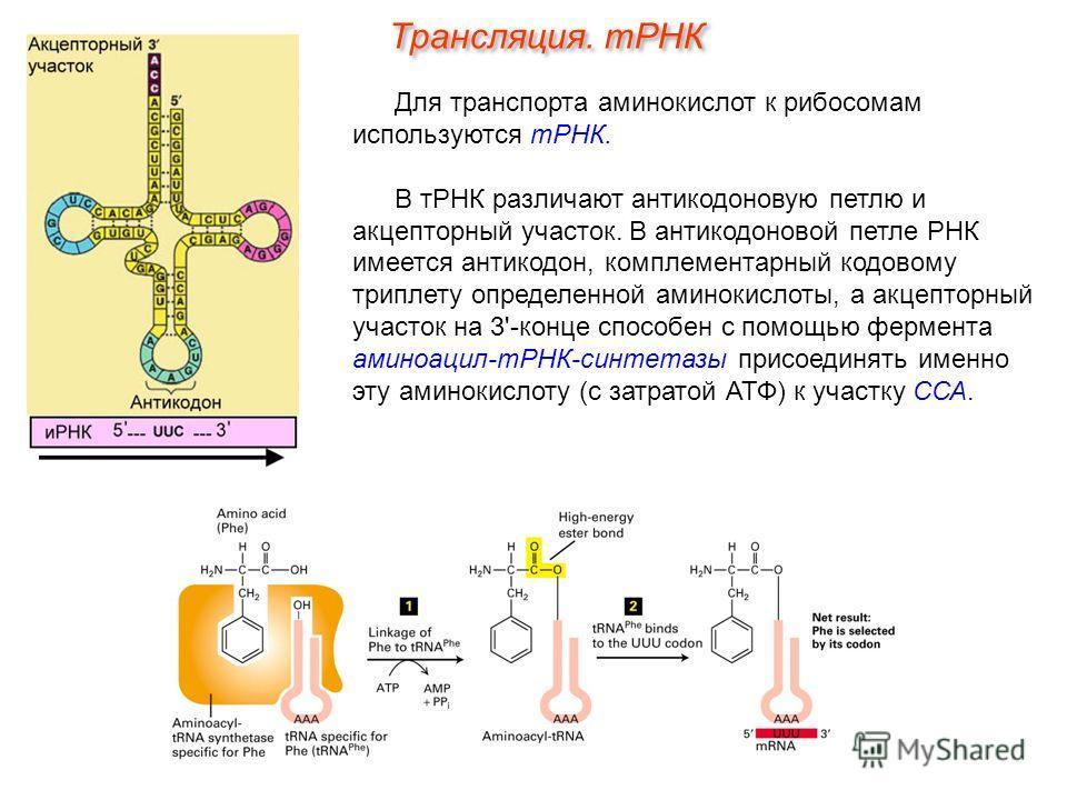 Для транспорта аминокислот к рибосомам используются тРНК. В тРНК различают антикодоновую петлю и акцепторный участок. В антикодоновой петле РНК имеется антикодон, комплементарный кодовому триплету определенной аминокислоты, а акцепторный участок на 3