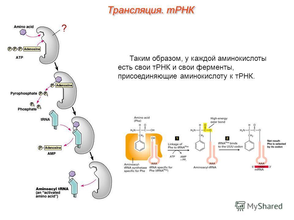 Таким образом, у каждой аминокислоты есть свои тРНК и свои ферменты, присоединяющие аминокислоту к тРНК. Трансляция. тРНК
