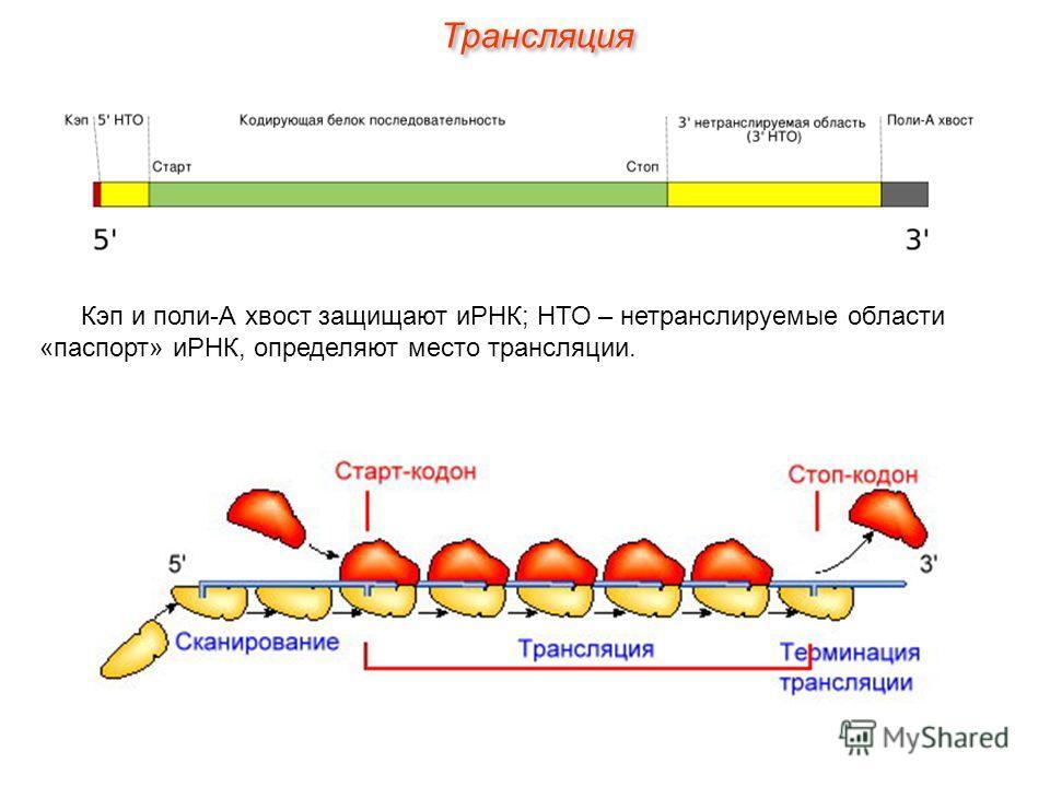 Кэп и поли-А хвост защищают иРНК; НТО – нетранслируемые области «паспорт» иРНК, определяют место трансляции. Трансляция