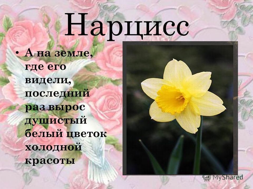 Нарцисс А на земле, где его видели, последний раз вырос душистый белый цветок холодной красоты