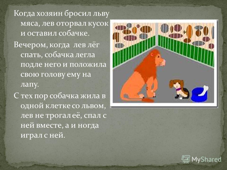 Когда хозяин бросил льву мяса, лев оторвал кусок и оставил собачке. Вечером, когда лев лёг спать, собачка легла подле него и положила свою голову ему на лапу. С тех пор собачка жила в одной клетке со львом, лев не трогал её, спал с ней вместе, а и но
