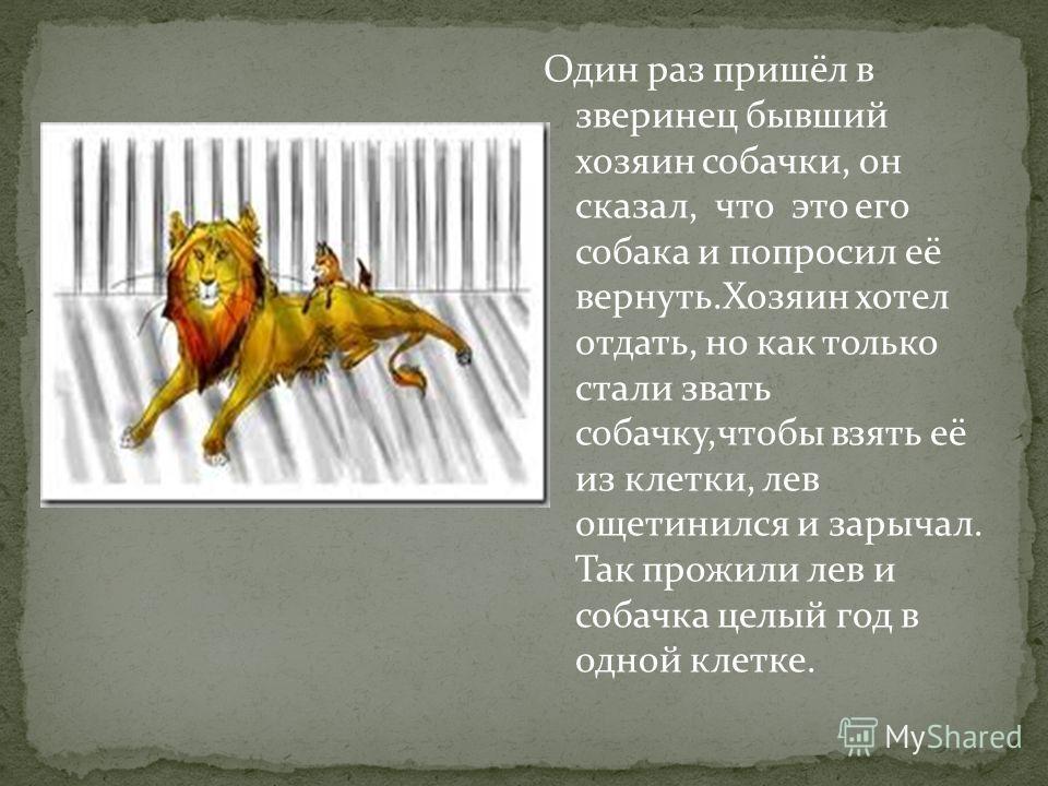 Один раз пришёл в зверинец бывший хозяин собачки, он сказал, что это его собака и попросил её вернуть.Хозяин хотел отдать, но как только стали звать собачку,чтобы взять её из клетки, лев ощетинился и зарычал. Так прожили лев и собачка целый год в одн