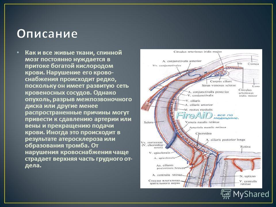Как и все живые ткани, спинной мозг постоянно нуждается в притоке богатой кислородом крови. Нарушение его кро  во  снабжения происходит редко, поскольку он имеет развитую сеть кровеносных сосудов. Однако опухоль, разрыв межпоз  воночного диска или
