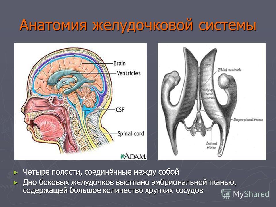 Анатомия желудочковой системы Четыре полости, соединённые между собой Дно боковых желудочков выстлано эмбриональной тканью, содержащей большое количество хрупких сосудов