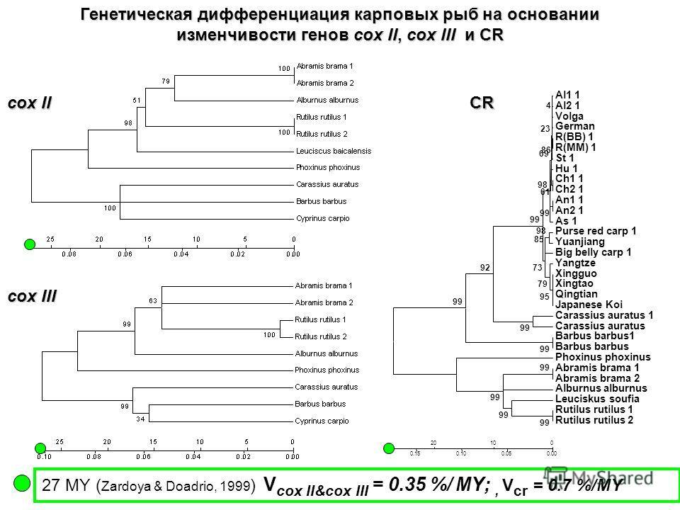 27 MY ( Zardoya & Doadrio, 1999 ) V cox II&cox III = 0.35 %/ MY;, V cr = 0.7 %/MY cox II cox III CR Генетическая дифференциация карповых рыб на основании изменчивости генов cox II, cox III иCR Генетическая дифференциация карповых рыб на основании изм