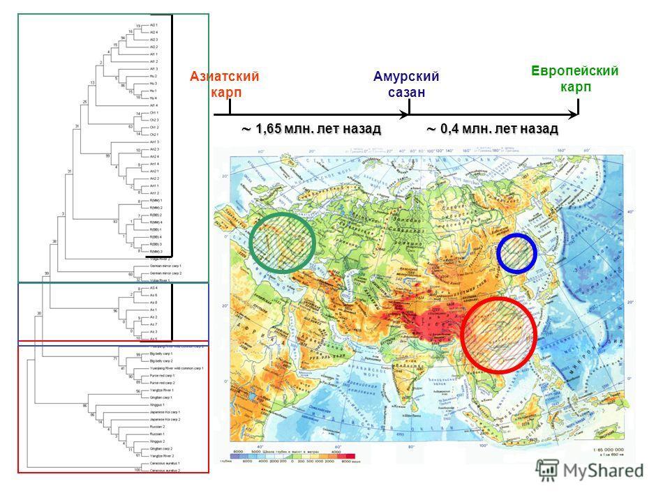 Европейский карп Амурский сазан Азиатский карп 0,4 млн. лет назад 0,4 млн. лет назад 1,65 млн. лет назад 1,65 млн. лет назад