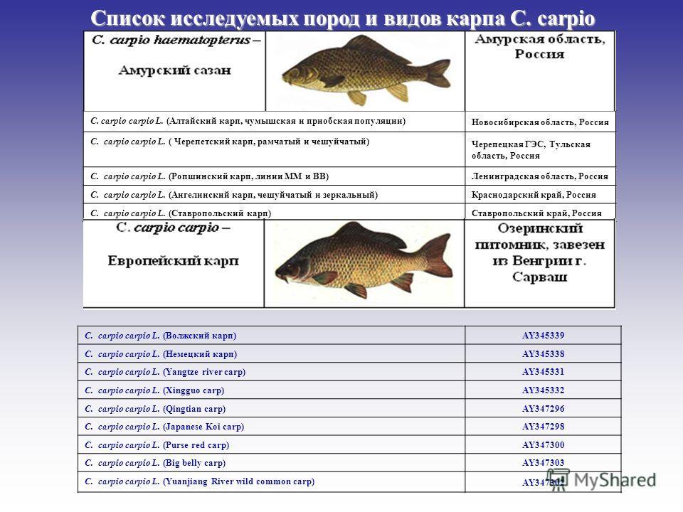 C. сarpio carpio L. (Волжский карп) AY345339 C. сarpio carpio L. (Немецкий карп) AY345338 C. сarpio carpio L. (Yangtze river carp) AY345331 C. сarpio carpio L. (Xingguo carp) AY345332 C. сarpio carpio L. (Qingtian carp) AY347296 C. сarpio carpio L. (