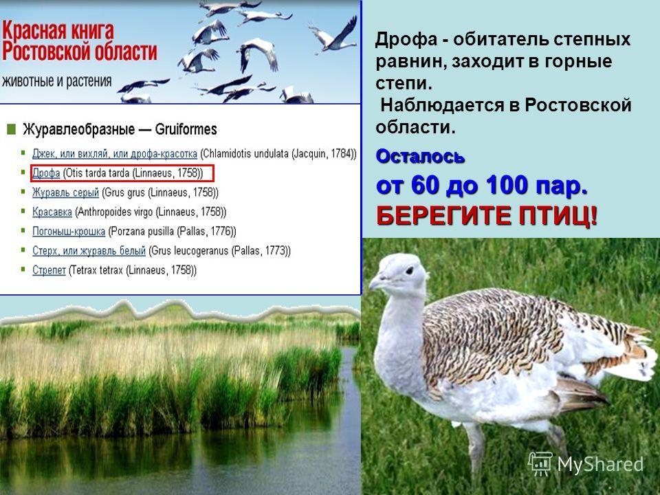 Дрофа - обитатель степных равнин, заходит в горные степи. Наблюдается в Ростовской области.Осталось от 60 до 100 пар. БЕРЕГИТЕ ПТИЦ!