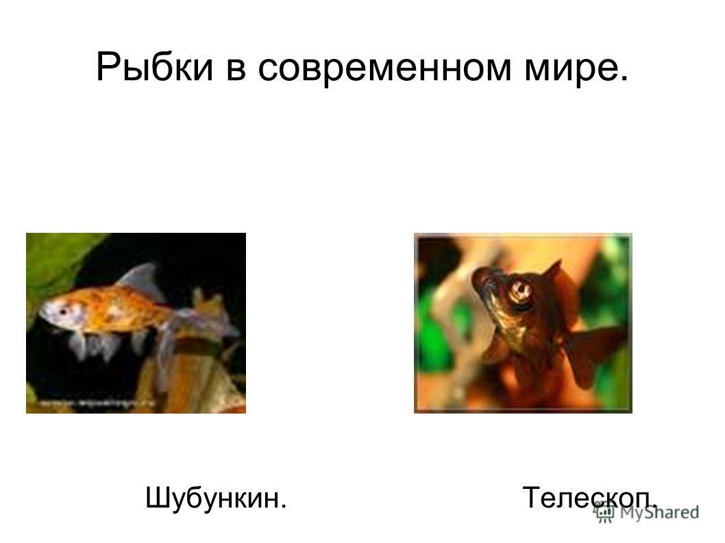 Рыбки в современном мире. Шубункин. Телескоп.