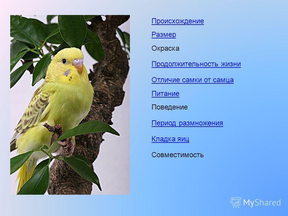 Происхождение Размер Окраска Продолжительность жизни Отличие самки от самца Питание Поведение Период размножения Кладка яиц Совместимость