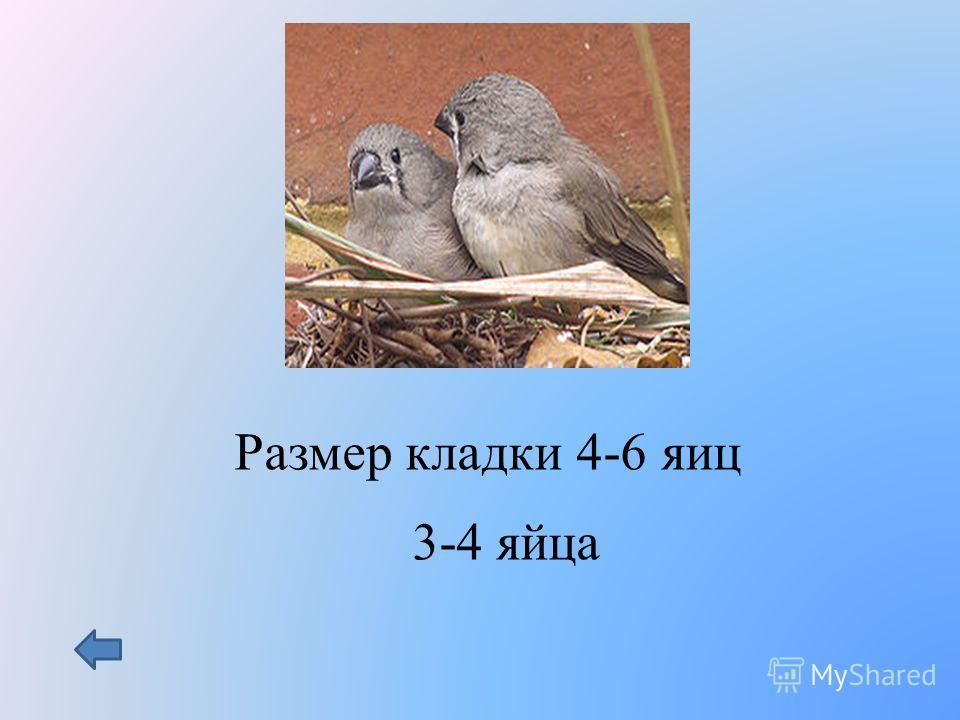 Размер кладки 4-6 яиц 3-4 яйца