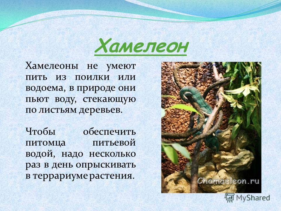 Хамелеон Хамелеоны не умеют пить из поилки или водоема, в природе они пьют воду, стекающую по листьям деревьев. Чтобы обеспечить питомца питьевой водой, надо несколько раз в день опрыскивать в террариуме растения.