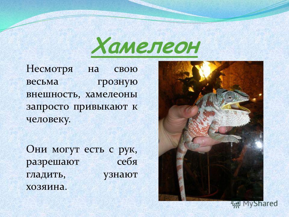 Хамелеон Несмотря на свою весьма грозную внешность, хамелеоны запросто привыкают к человеку. Они могут есть с рук, разрешают себя гладить, узнают хозяина.