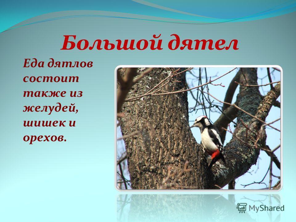 Большой дятел Еда дятлов состоит также из желудей, шишек и орехов.