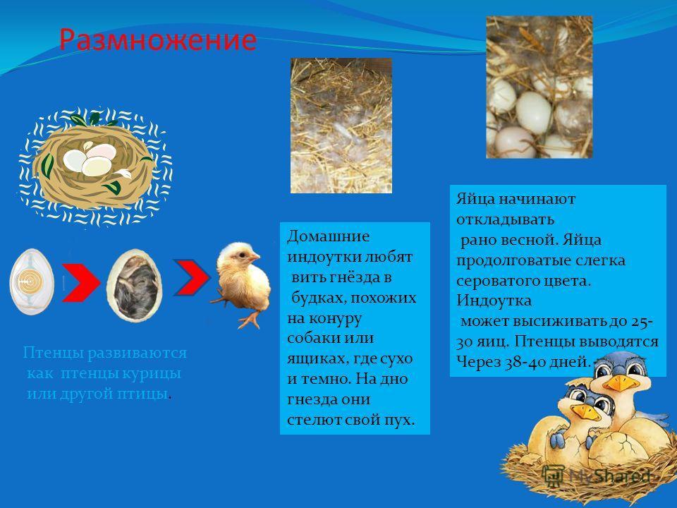 Размножение Домашние индоутки любят вить гнёзда в будках, похожих на конуру собаки или ящиках, где сухо и темно. На дно гнезда они стелют свой пух. Яйца начинают откладывать рано весной. Яйца продолговатые слегка сероватого цвета. Индоутка может выси
