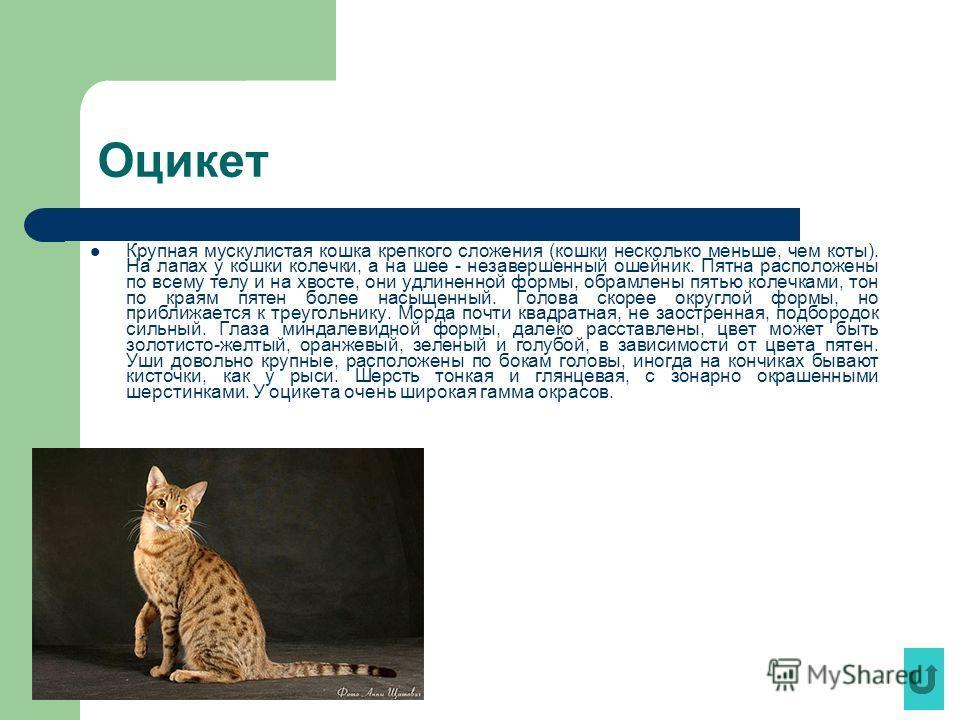 Оцикет Крупная мускулистая кошка крепкого сложения (кошки несколько меньше, чем коты). На лапах у кошки колечки, а на шее - незавершенный ошейник. Пятна расположены по всему телу и на хвосте, они удлиненной формы, обрамлены пятью колечками, тон по кр