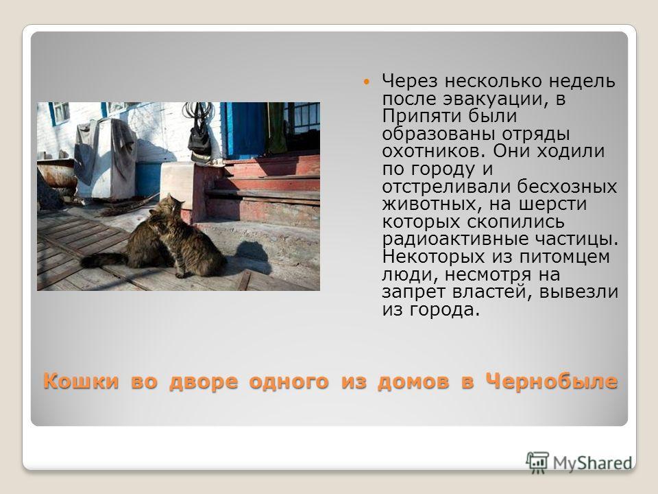 Кошки во дворе одного из домов в Чернобыле Через несколько недель после эвакуации, в Припяти были образованы отряды охотников. Они ходили по городу и отстреливали бесхозных животных, на шерсти которых скопились радиоактивные частицы. Некоторых из пит