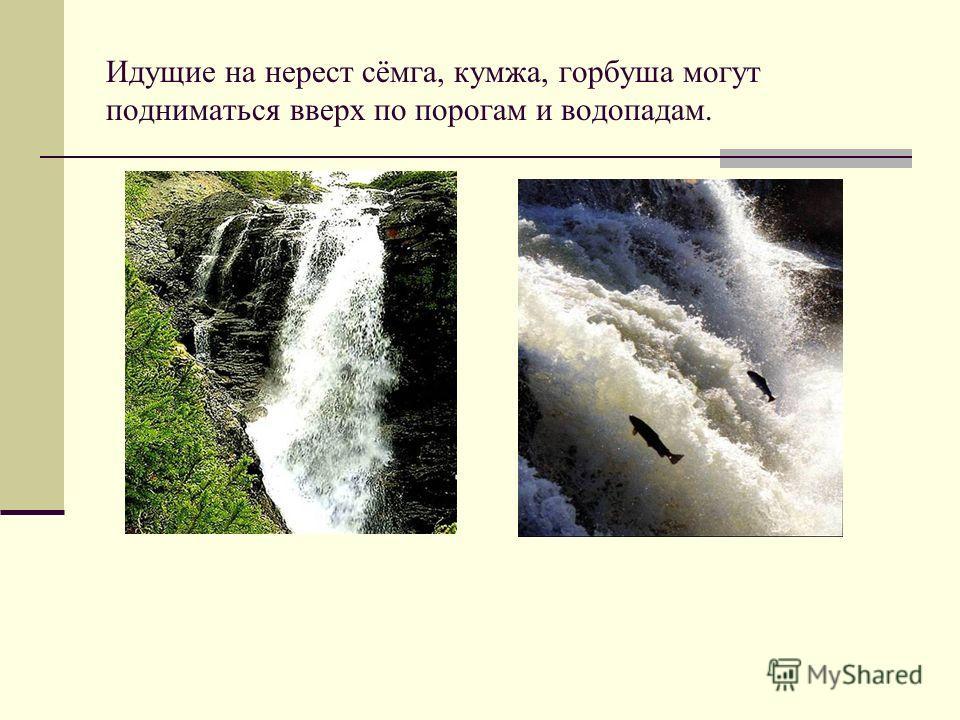 Идущие на нерест сёмга, кумжа, горбуша могут подниматься вверх по порогам и водопадам.